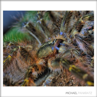 Poecilotheria rufilata female juvie (3.5 inch) | by _papilio