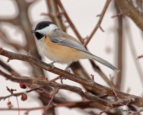 chickadee | by starc283