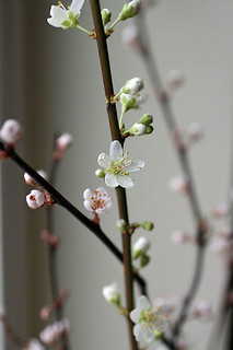 Plum branches | by Oregon Coastal Flowers