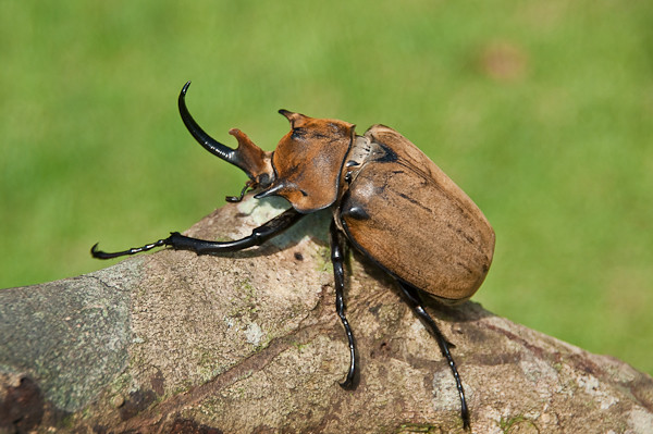Megasoma elephas elephas - Rhinoceros Beetle / Nashornkäfer - YouTube