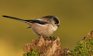 Long Tailed Tit | by nigel kiteley2011