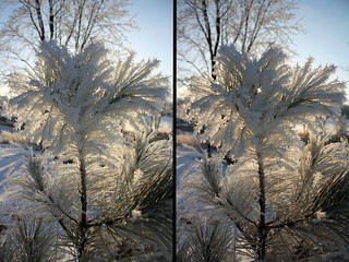 Hoarfrost on Red Pine | by darkchocdoc