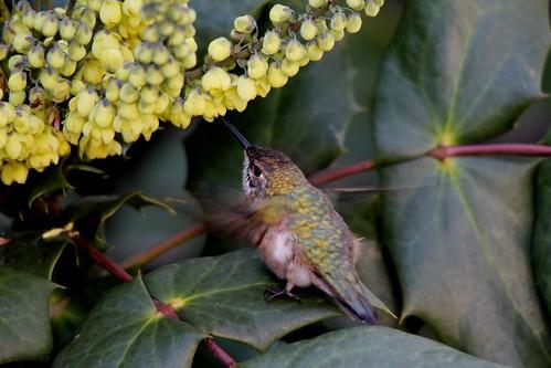 Hummingbird And Rose Tattoo Designs
