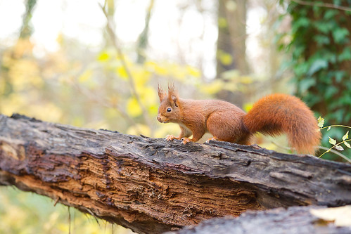 Un écureuil  sur un tronc, Red Squirrel | by Zed The Dragon