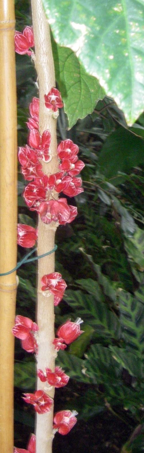 Goethea strictiflora 6726539257_1affeb35eb_o