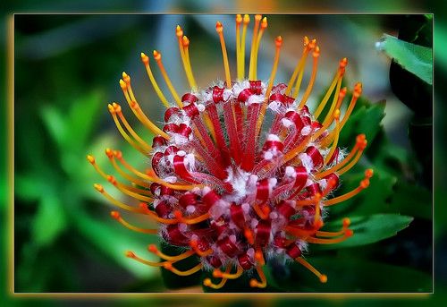 The queen of flowers of South Africa | by scorpion (13)