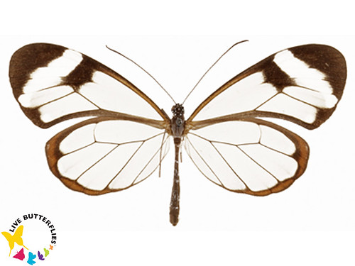 "Greta oto ""Glass Wing"" 
