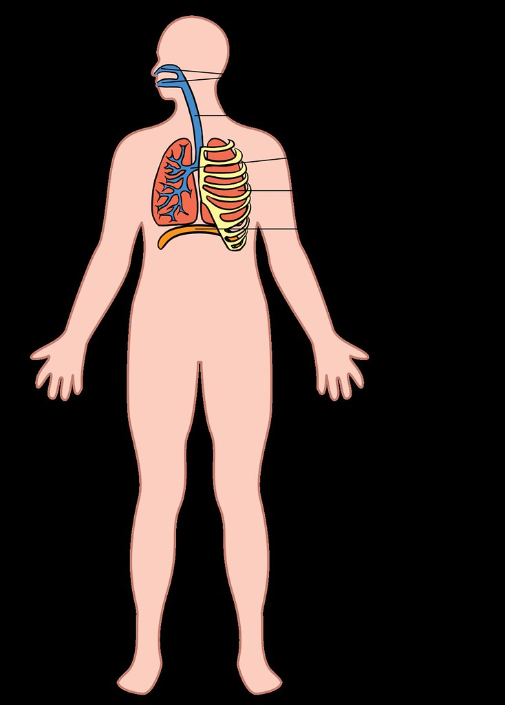 Pulmonary System Diagram Whole Body - House Wiring Diagram Symbols •