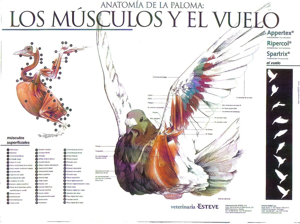 Anatomía de la Paloma | Músculos y vuelo | C.C. Real Hespérides | Flickr