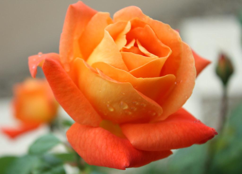 Couleur chaude...   Un de mes rosiers préféré... Merci pour …   Flickr