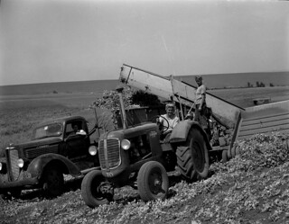 Women harvesting peas | by OSU Special Collections & Archives : Commons