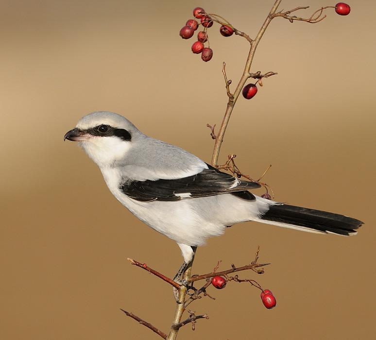 Varfågel Lanius excubitor [Great Grey Shrike], 2011-10-09 - YouTube