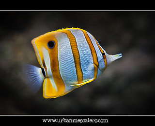 Copperband Butterflyfish - Chelmon rostratus | by UrbanMescalero