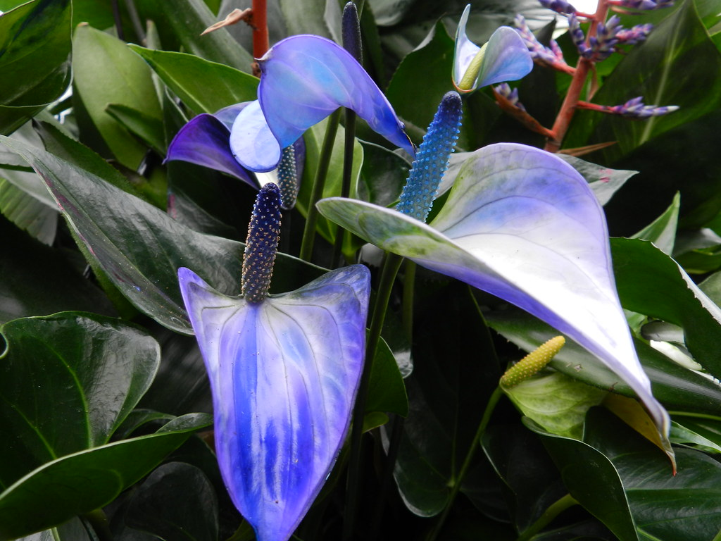Anthurium princess alexia blue tropical extravaganza 2012 flickr anthurium princess alexia blue tropical extravaganza 2012 kew gardens by beartomcat bear izmirmasajfo