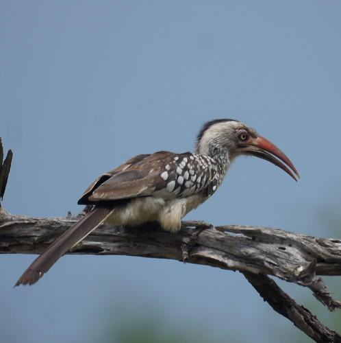 Southern Yellow-billed Hornbill | by Mike's Birds