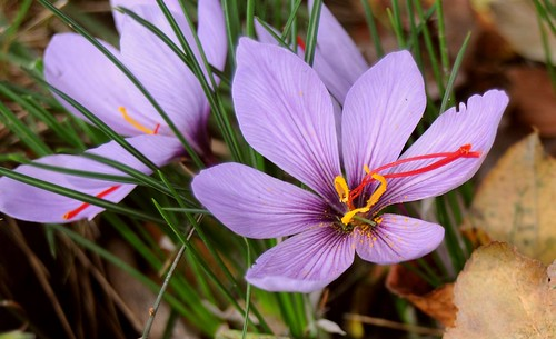 Saffron Crocus | by dugspr — Home for Good