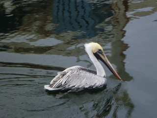 Pelican in the St. Marks River | by wfsu.org