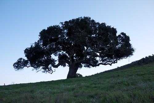 California Live Oak | by kasei