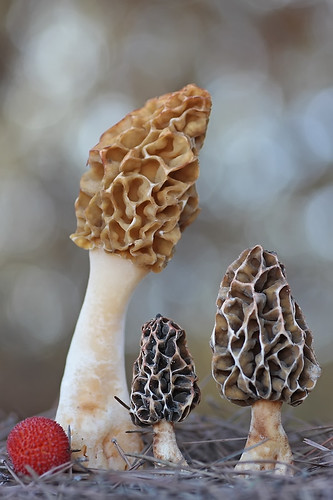 """Morchella galilaea"" 