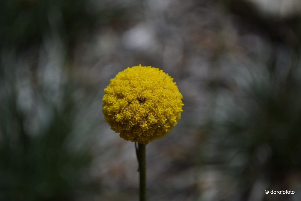 Pycnosorus Globosus Billy Buttons Ball Of Tiny Yellow Fl Flickr