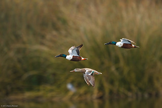 Northern Shovelers | by Wildphotography - Barry Rowan