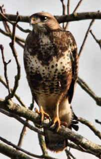 buzzard on a branch | by Cath now in Canada.