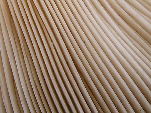 gelbstieliger muschelseitling an papier birke temp park flickr. Black Bedroom Furniture Sets. Home Design Ideas