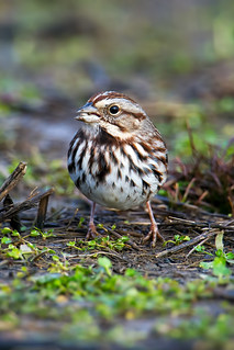 Song Sparrow | by Brian E Kushner