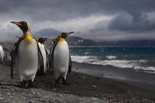 King Penguins on the shore | by fallingstill