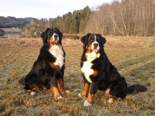 Bernese Mountain Dogs! | by lystang