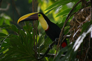 chesnut mandible toucan | by PaulinaD1983