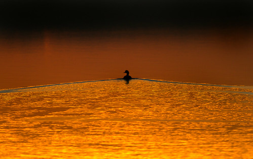 Swimming  into the Sunset | by Davor Desancic