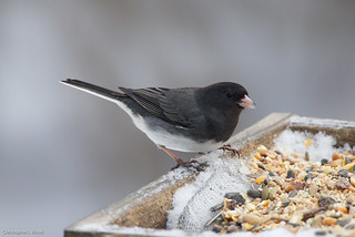 1st-winter male Cassiar Junco, Tompkins Co., NY | by Christopher L Wood