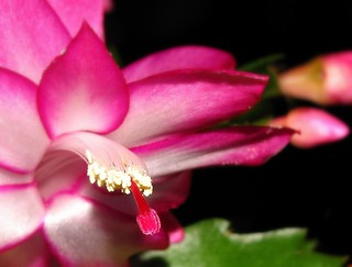 Christmas cactus - Closer | by eagle1effi