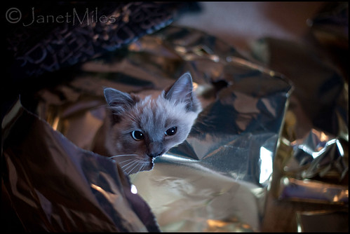 a kitten! Just what I always wanted! (explored) | by MilesJanet