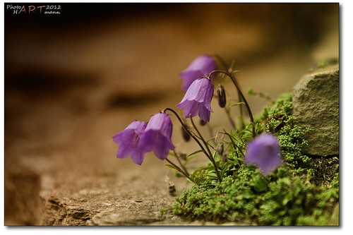 Glockenblume | by PhotoArt Hartmann