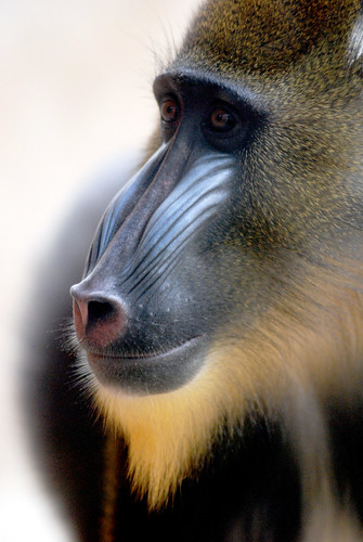 mandrill | by floridapfe