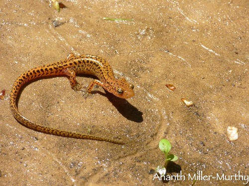 Longtail Salamander | by Ananth Miller-Murthy