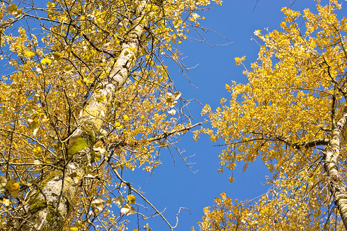 Blue Sky and Cottonwoods | by nestwatcher