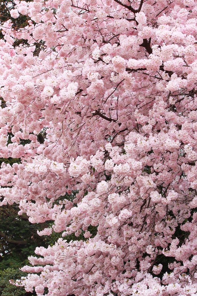 Sakura Photo 2011shinjuku Gyoen 9 Japantwo Flickr