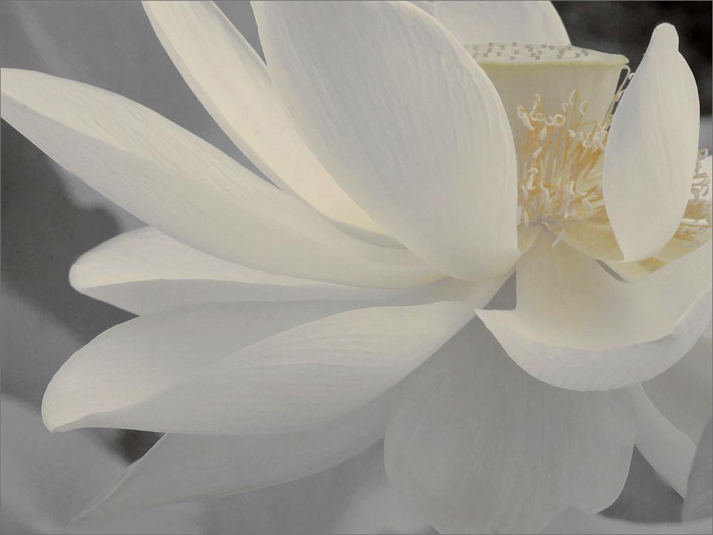 White Lotus Flower Petals Dsir2407 1000 White Lotus Flow Flickr
