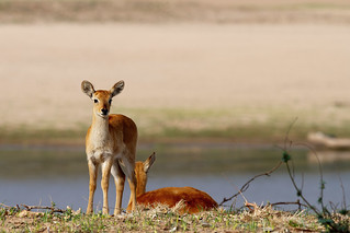 Puku Fawns | by Thomas Retterath