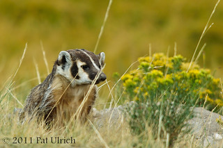 American badger in Yellowstone | by Pat Ulrich