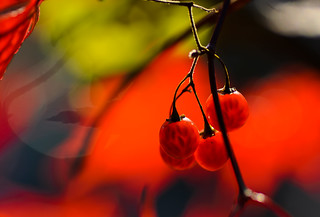 Red Berries | by Brian Hammonds