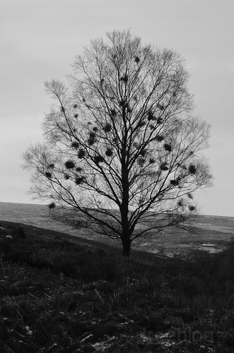 280112-witches-brooms | by treeblog