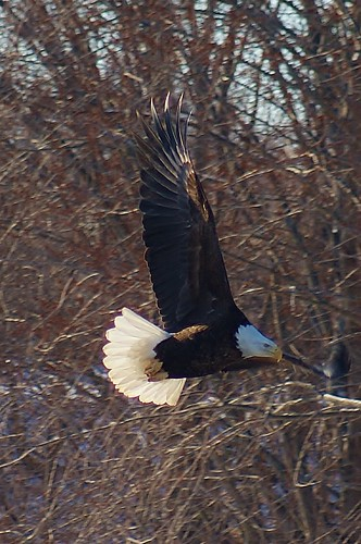 Eagle on the Wing | by chumlee10