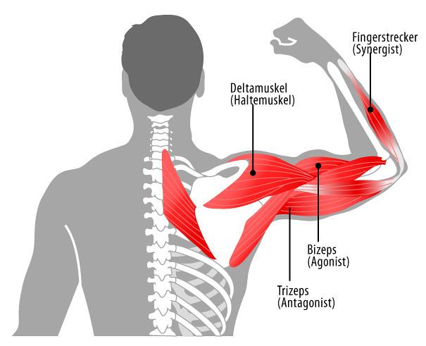 Muskeln im Arm | Die einzelnen Muskeln im Arm Quelle: www.jo… | Flickr