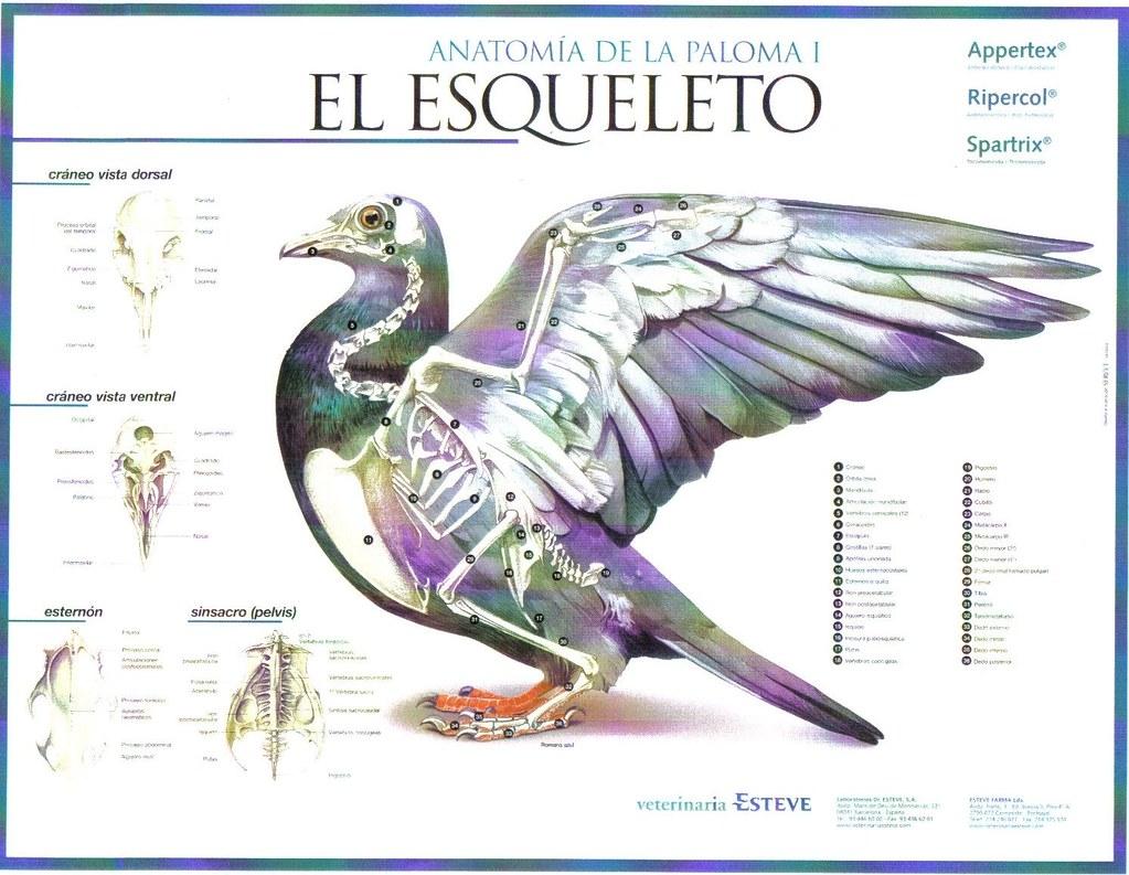 Anatomía de la Paloma | Esqueleto | C.C. Real Hespérides | Flickr
