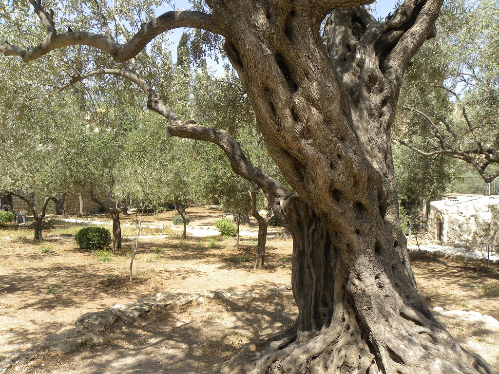 Olive trees in the traditional garden of Gethsemane | Flickr