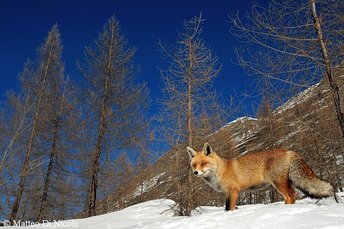 Red fox in alpine habitat | by Matteo Di Nicola